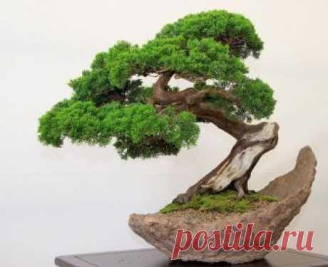 Как в комнатных условиях вырастить маленькое дерево бонсай