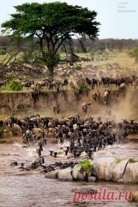 Evening crossing of antelopes in Tanzania. The author of a photo is Yulia Sundukova: