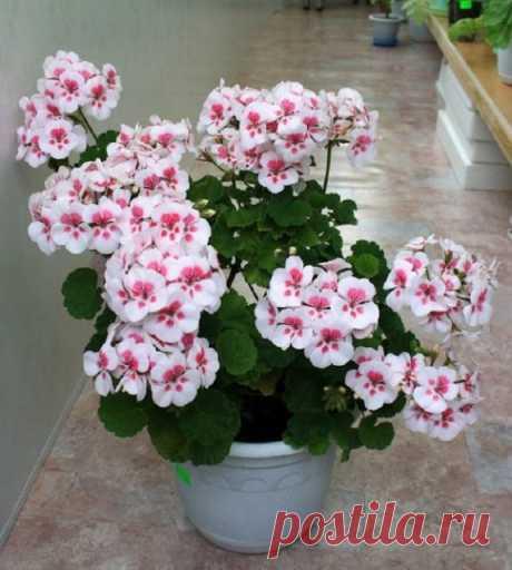 Чтобы герань всегда пышно цвела…  Одним из наиболее популярных комнатных растений является герань.Сейчас есть возможность приобрести в цветочном магазине самые разнообразные виды герани, например пеларгонию. Она поражает своим разме…