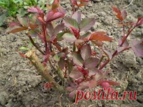 Размножение роз черенками осенью: подробная инструкция для начинающих Можно ли выращивать розы из черенков осенью? На этот счет мнения цветоводов расходятся, однако осеннее размножение часто является более предпочтительным и приводит к лучшим результатам, чем весеннее...