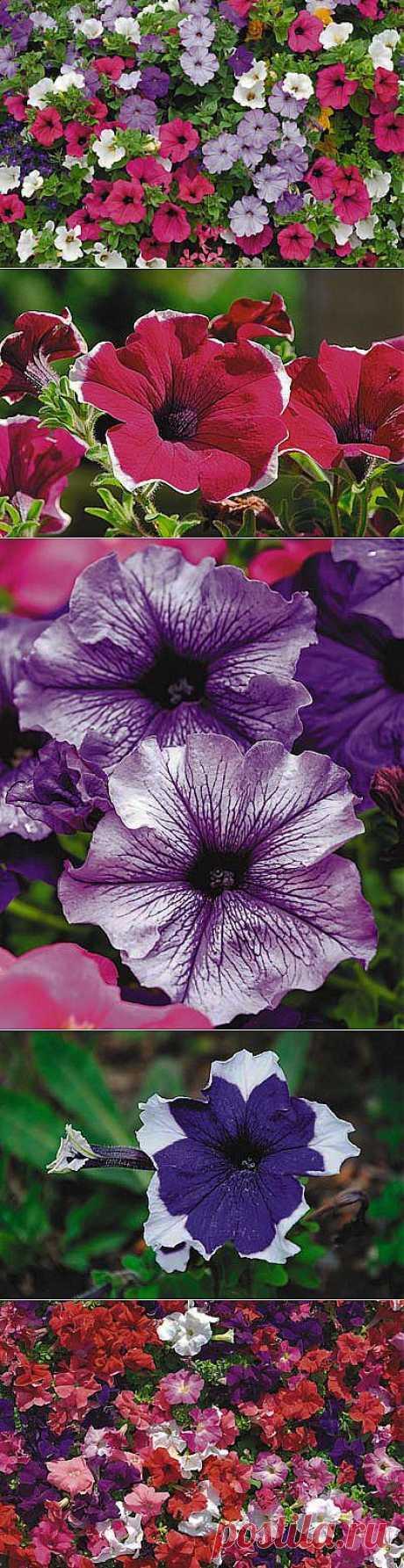 Вербена и петуния — разноцветные красавицы.Петуния хороша всем — и пышными яркими цветками самых разных оттенков, и долгим цветением, и неприхотливостью. Но не каждый любитель сумеет с первого раза украсить ею участок, а причина тому — относительная сложность выращивания рассады.Чтобы петуния стала здоровой и красивой, рассаду надо регулярно, но не очень обильно поливать.Первое время рассада петунии растет медленно — у нее формируется мощная корневая система.