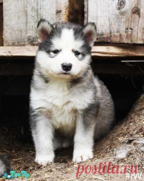 Щенки Аляскинского Маламута купить в Минске на сайте объявлений