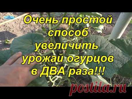 Увеличиваем урожай огурцов в ДВА(!!!) раза одним лёгким движением руки!