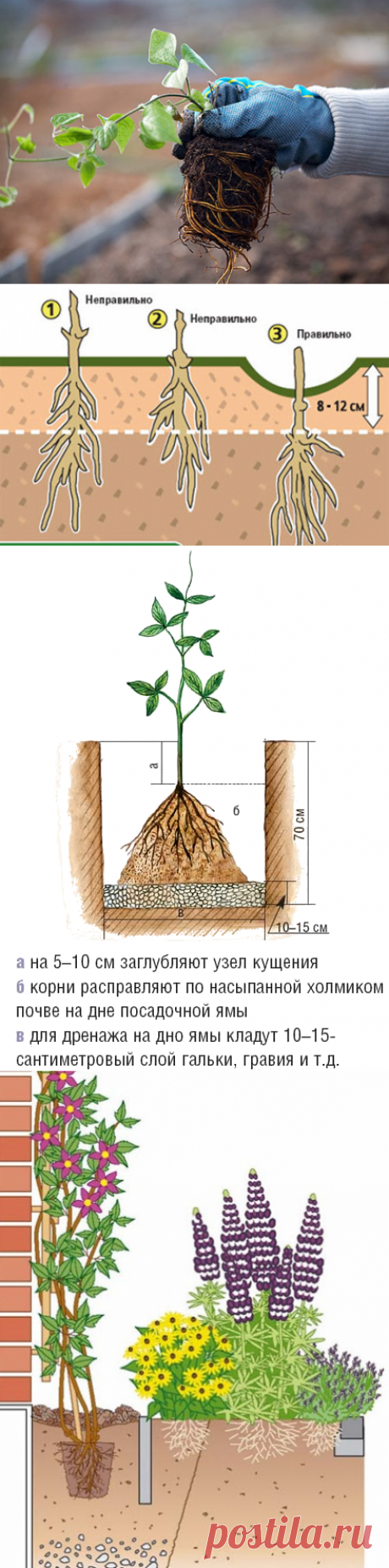 Как правильно посадить клематис. Где и как посадить клематисы