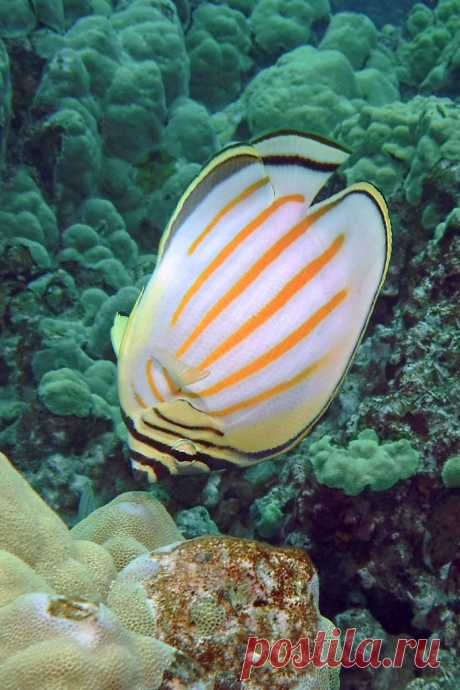 upended ornate butterflyfish