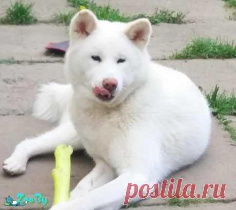 Девочка собака Акита ину купить в Минске на сайте объявлений