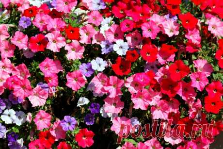 Цветы-однолетники, которые будут радовать до поздней осени