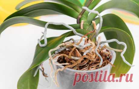 Корни орхидеи вылезли из горшка: что делать | Комнатные растения | Яндекс Дзен