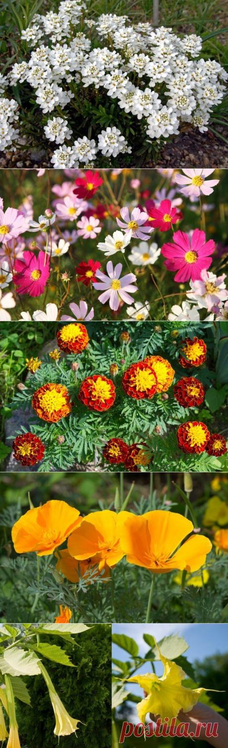 9 удивительно красивых однолетников, цветущих все лето | Летники (Огород.ru)