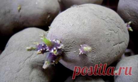 Как правильно подготовить картофель к посадке