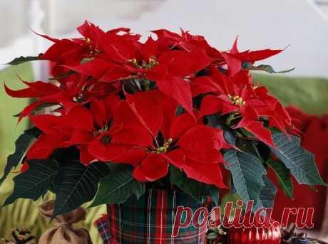 Пуассетия: украшаем дом на Рождество живыми цветами - City-Glam