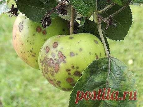 Как лечить паршу яблони правильно? | 6 соток