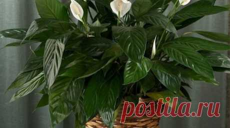 Spathiphyllum: as it is correct to look after. Useful tips — Flora