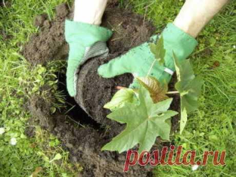 Выращивание клещевины из семян   Дача - впрок