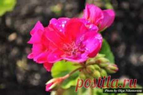 Geranium – a drugstore in the house the House flower a geranium or still it not correctly call a geranium, there is also a doctor. I want to tell you about its medicinal properties and methods of application. How to prepare medical juice from pelargoniidlya receiving juice, we take the pure, washed leaves of a plant and we pass via the meat grinder. We wring out the received weight by means of a gauze. That to keep juice...