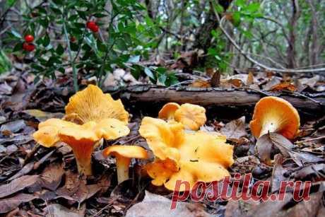 Грибы лисички: описание, выращивание в домашних условиях, полезные свойства