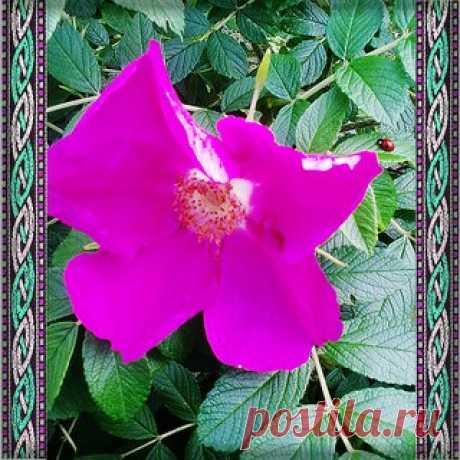 Шиповник, является близким родственником розы, из-за чего в народе получил название «дикая роза». С глубокой древности целители обратили внимание на это растение из-за его лечебных свойств.   Шиповник культивировали в Индии, Иране, на Ближнем Востоке, на юге Европы и в Средней Азии.  Славяне считали шиповник символом вечной любви, применяли его в обрядах.  Показать полностью…