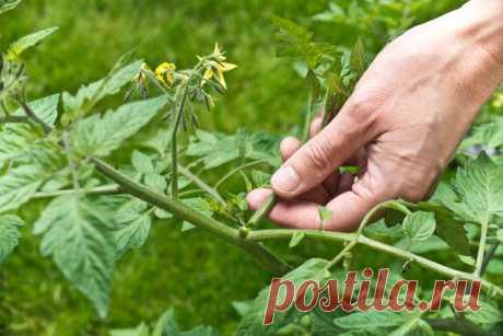 Como quitar los hijuelos de los tomates: la tecnología, el rasgo para las clases diferentes de los tomates. El vídeo
