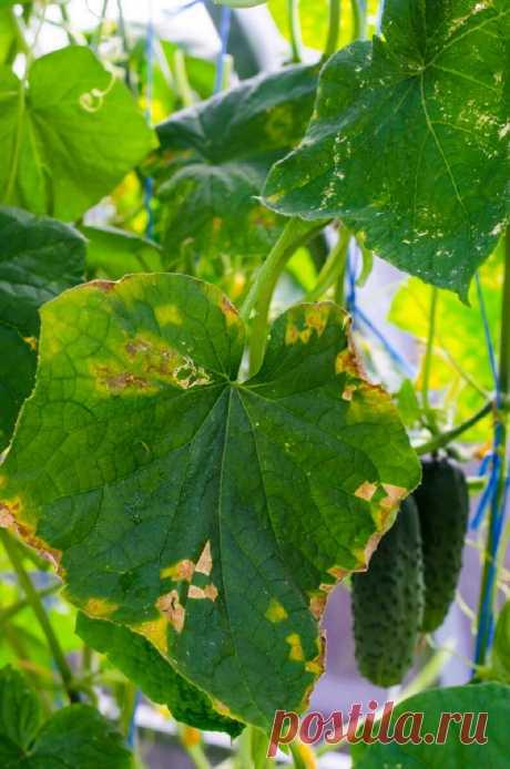 Мучнистая роса на растениях и способы избавления от нее   Азбука огородника   Яндекс Дзен