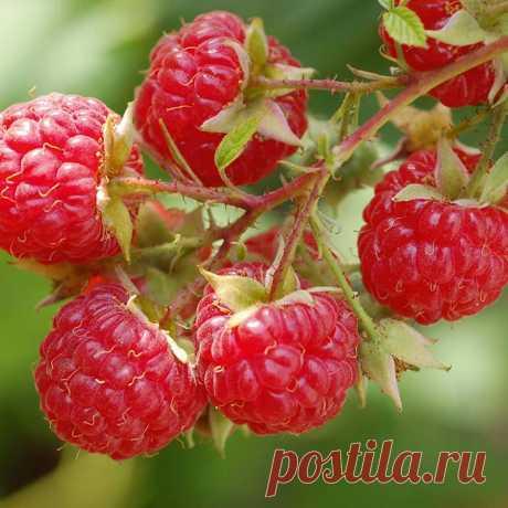 Как повысить урожайность ягод: смородины, малины, крыжовника и вишни