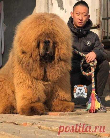 Никто не устоит перед очарованием шерстяных гигантов — тибетских мастиффов!