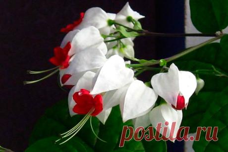 Красивейший комнатный цветок, который цветет почти круглый год и привлечет в Ваш дом счастье и большую удачу в любви и в делах | 4 Сезона огородника | Яндекс Дзен