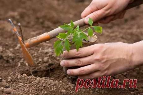 Выращивание томатов: способ для ленивых Чем проще способ и уход в выращивании овощных культур, тем больше это... Читай дальше на сайте. Жми подробнее ➡