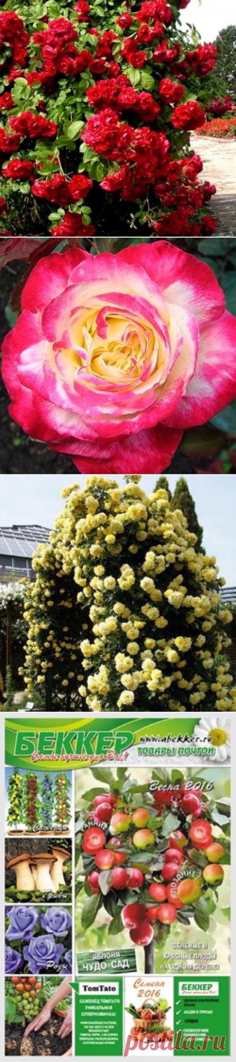 Роза плетистая Черный Букет 6790-3 - 3 саж: купить почтой в Москве в интернет магазине Беккер (6790-3)