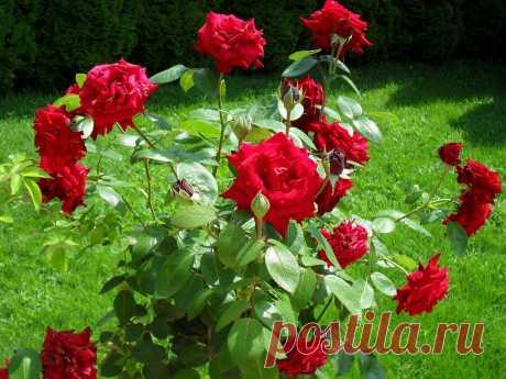 5 ошибок при выращивании роз, которые приводят к их гибели | Твоя усадьба | Яндекс Дзен