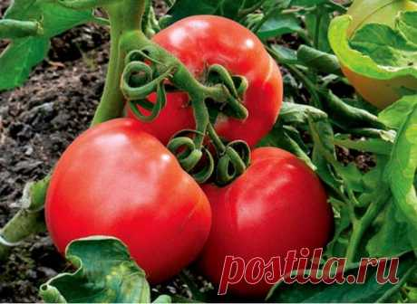 Tomatoes: how to receive an enviable harvest.