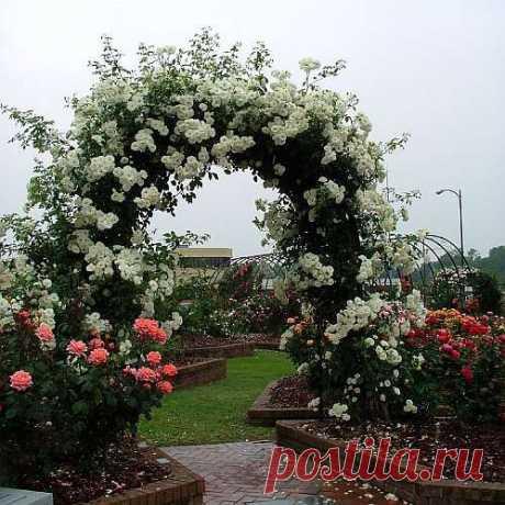 плетистые розы, розы плетистые сорта
