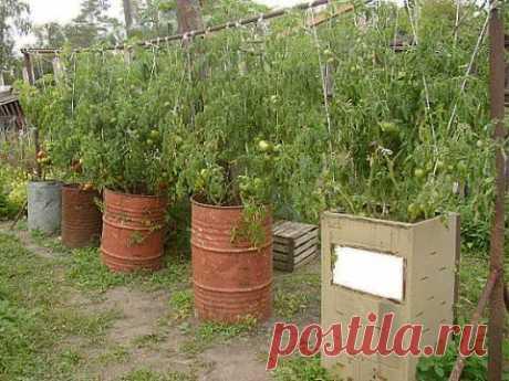 Вот так можно выращивать помидоры | Делаем сами