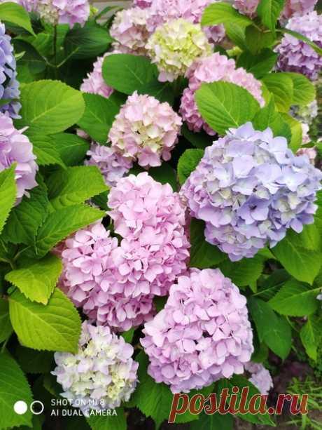 Гортензия цветет.Буйство красок) Доброе утро! 😊🍃🦋