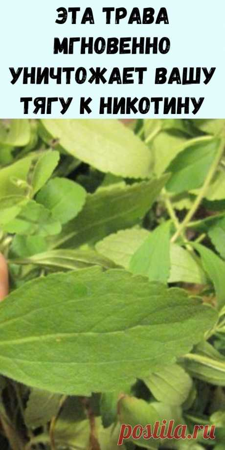 Хотите бросить курить? Эта трава мгновенно уничтожает вашу тягу к никотину (и как ее вырастить) - Упражнения и похудение