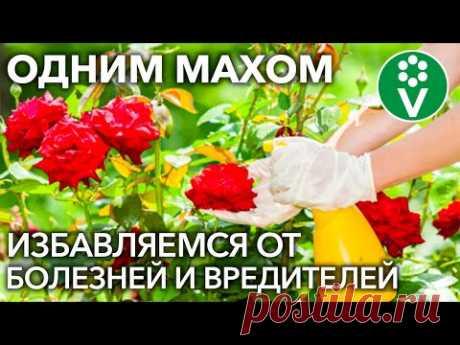 ОТ ВСЕХ БЕД РОЗ ПОМОЖЕТ ОДНО ЗАБЫТОЕ СРЕДСТВО! Обработка роз от болезней и вредителей
