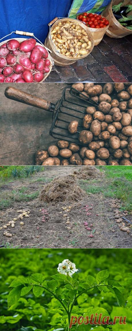 Когда выкапывать картофель чтобы сохранить до весны