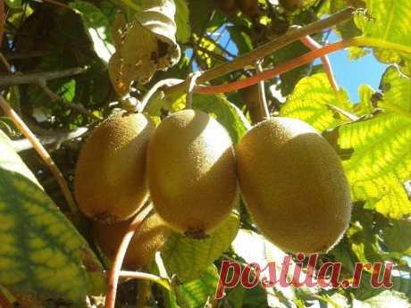 Выращивание киви | На даче