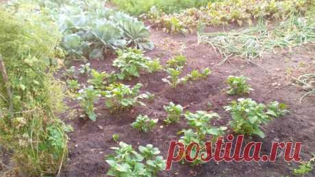 Сажаем картофель в августе — и копаем молодые клубни в марте. Агротехника   Маленький сад на краю Вселенной   Яндекс Дзен