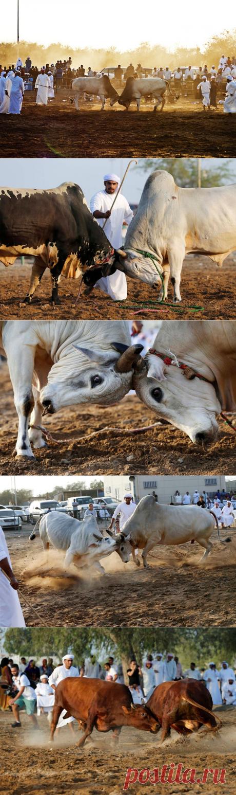 Как проходит коррида в Объединенных Арабских Эмиратах