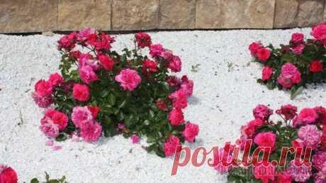 """Как вылечить розы без """"химии"""": лучшие народные средства от болезней и вредителей - Цветочки - медиаплатформа МирТесен"""