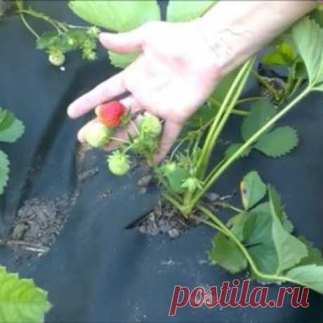 Ошибки при посадке клубники на агроволокно. Органическое земледелие - МирТесен