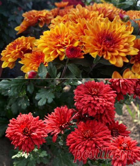 Вселенная хризантем | Калейдоскоп новостей | Яндекс Дзен