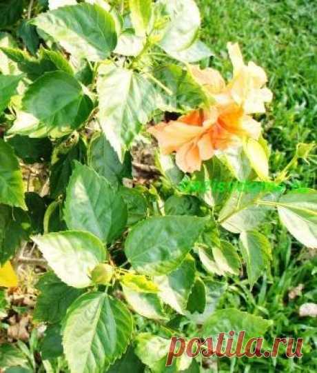 Как добиться длительного цветения гибискуса - секреты ухода за Китайской розой | oazisvdome.ru Все о комнатных и садовых растениях | Яндекс Дзен
