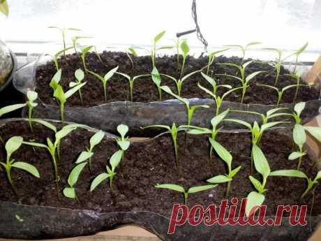 Кто попробует этот способ выращивания рассады, тот другого уже никогда не применит!