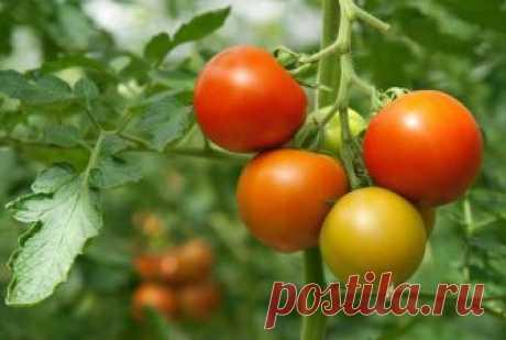 Удобрение для рассады помидор Цель посева помидор – это, конечно же, их плоды, которым огородники уделяют внимание больше всего. Однако, стоит понимать, что для хорошего урожая, в первую очередь, стоит вырастить отличную рассаду, ...