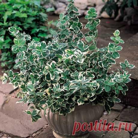 Бересклет Форчуна «Эмеральд Гаети» (Euonymus fortunei 'Emerald Gaiety').