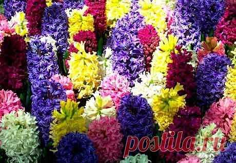 Гиацинт : всё о посадке и уходе после цветения  Гиацинт относится к той привлекательной для садовода группе цветов, которые являются универсальными и неприхотливыми в уходе. Так, они будут радовать глаз не только на клумбе в саду, но на подоконнике у вас дома. А благодаря обилию разнообразных оттенков, вы можете превратить подоконник или клумбу в настоящий разноцветный шедевр. Показать полностью…