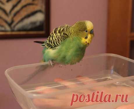 Что можно давать есть волнистому попугаю в домашних условиях кроме корма - список проудктов