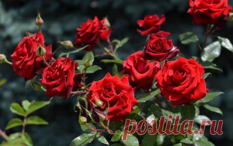 Лучшие розы можно вырастить только из черенка посаженного осенью | В моём саду | Яндекс Дзен