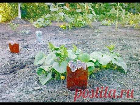 Как подготовить и установить пластиковые бутылки для полива огурцов - YouTube